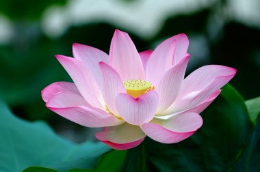 Closeup of blooming lotus flower