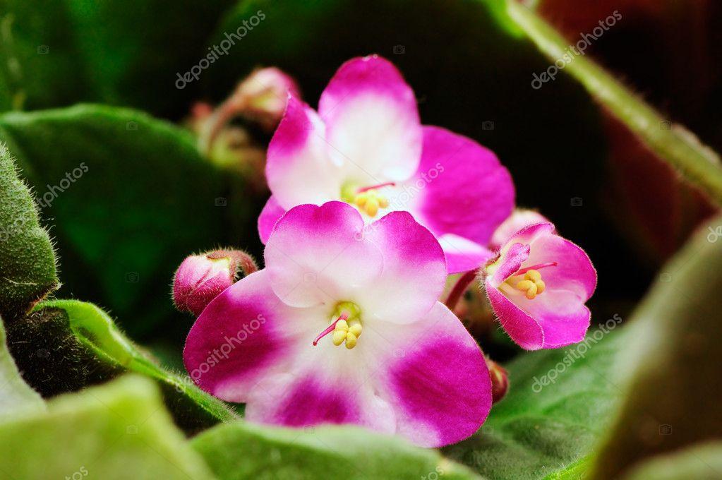 Beautiful violet