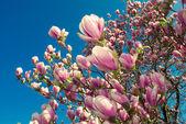 Fotografie kvetoucí magnolie strom v dubnu