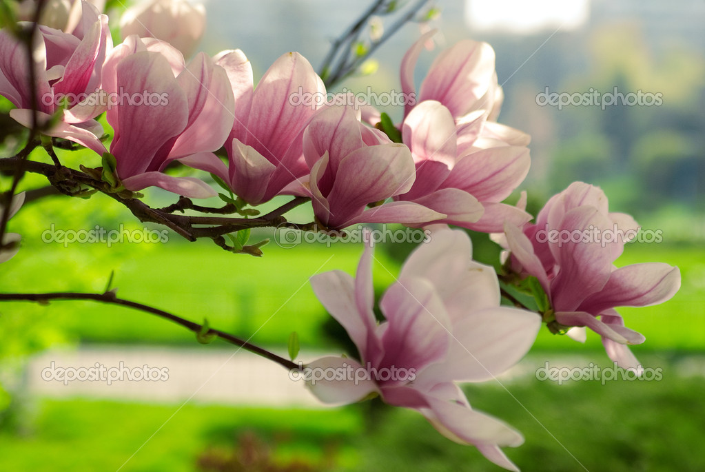 Blooming magnolia branch