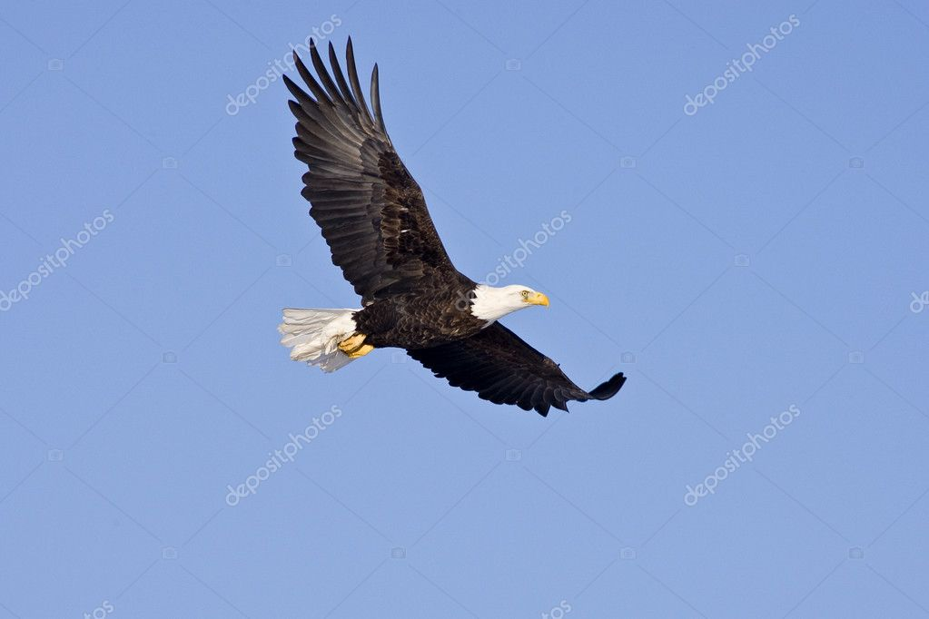 Bald Eagle in flight isolated on a blue