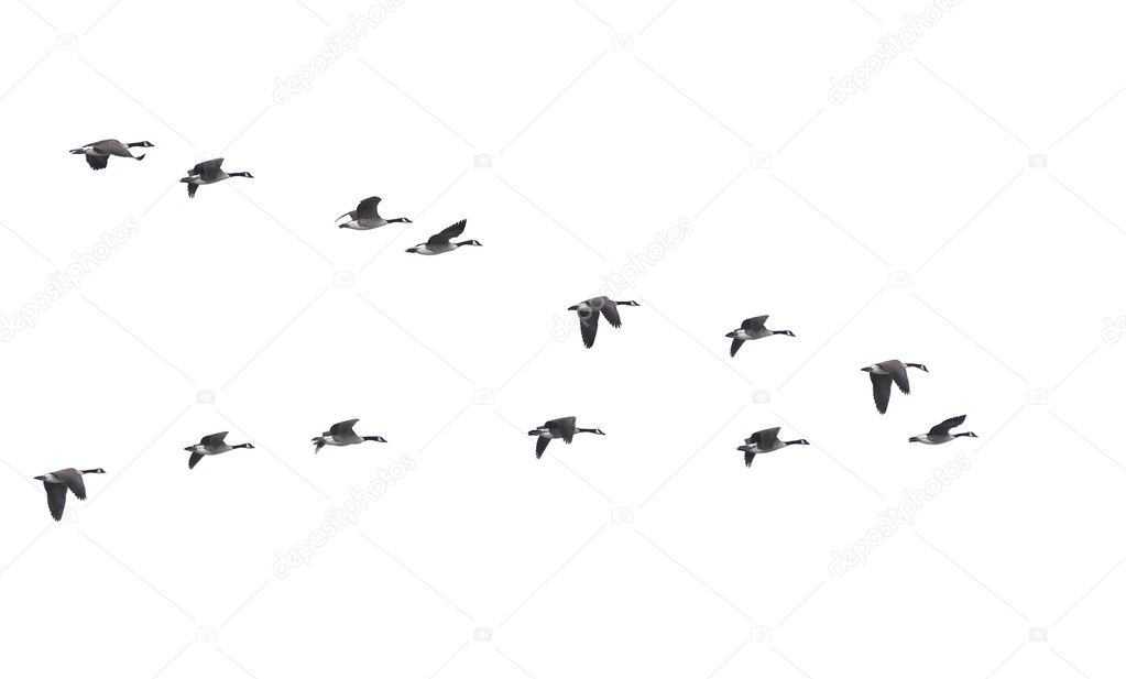 Flying geese in v shape isolated