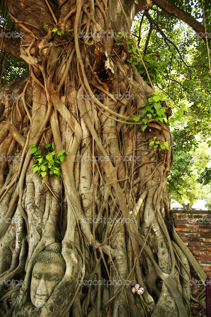 buddhas head in roots of Bodhi tree Wat Mahathat, Ayutthaya