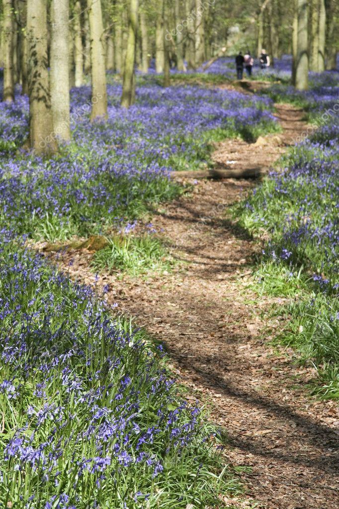 Фотообои Bluebell woods ashridge