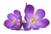 PURPLE CROCUS FLOWER