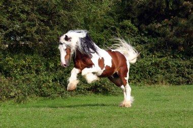 Sir Maverick - Irish Cob stallion