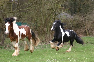 Irish Cob / Irish Tinker stallion