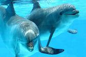 pár delfinek úszás
