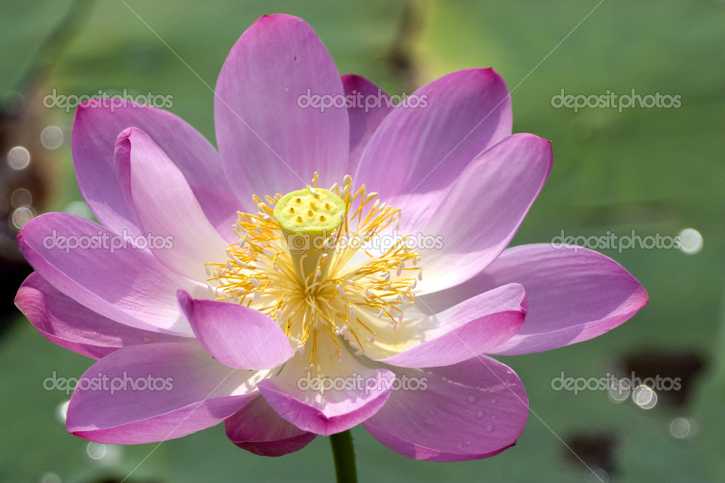 Lotus in blossom