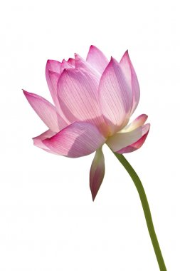 Lotus in white background