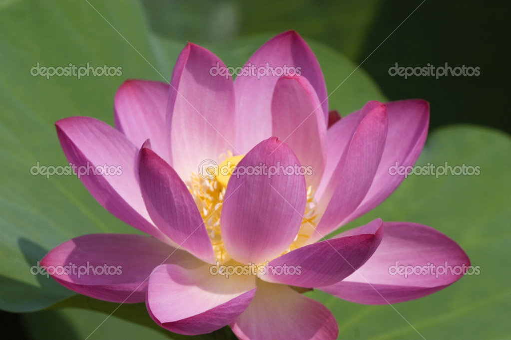 Lotus in blossom with green leaves