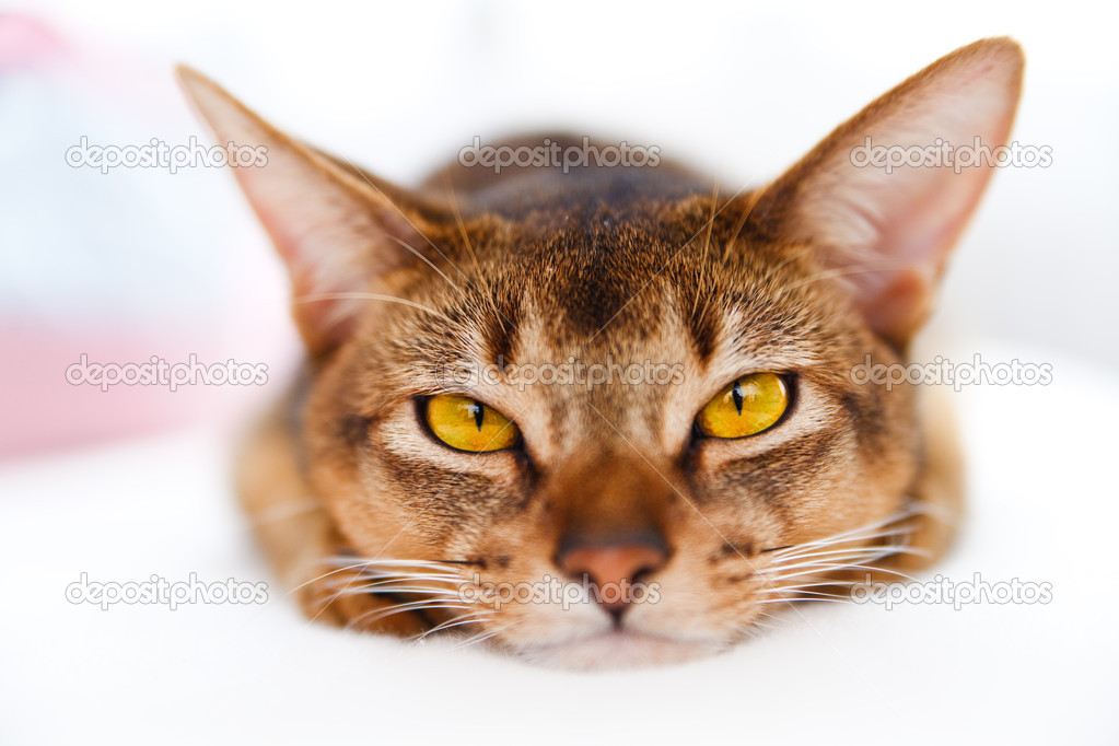 Young Abyssinian cat