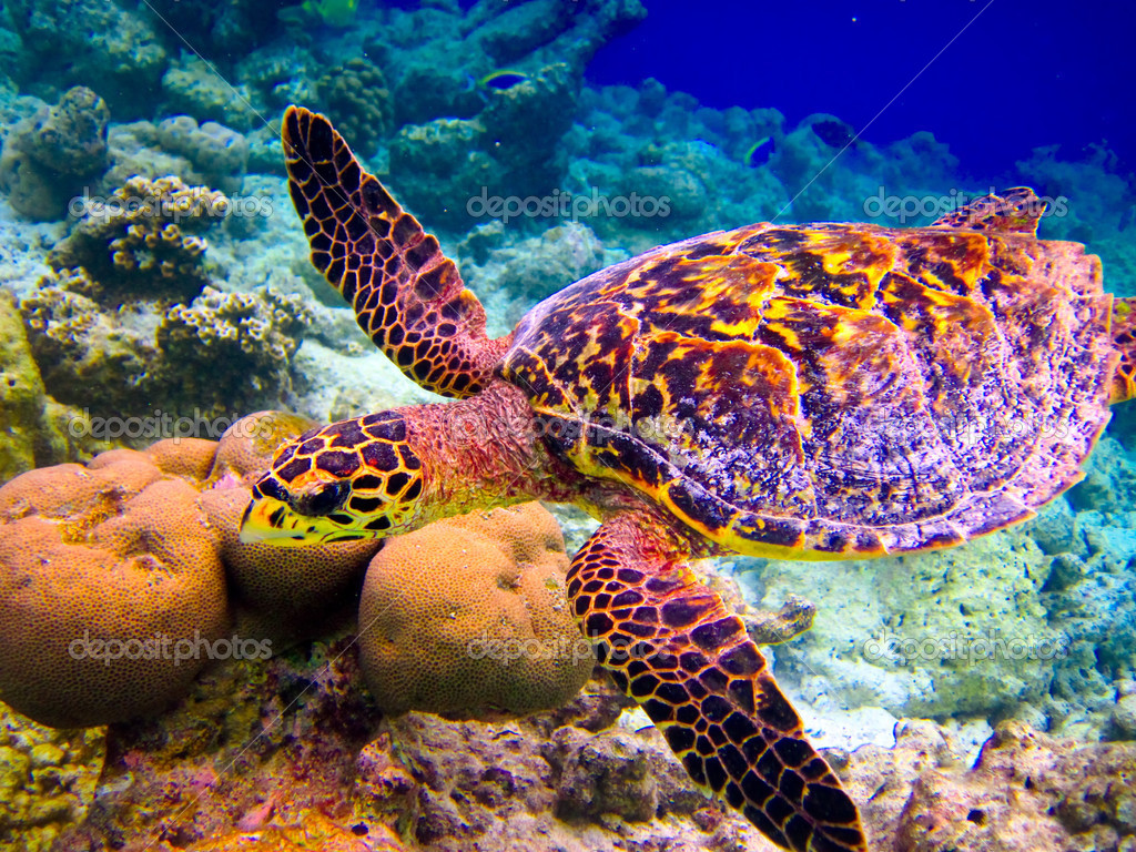 Hawksbill Turtle swiming like flying