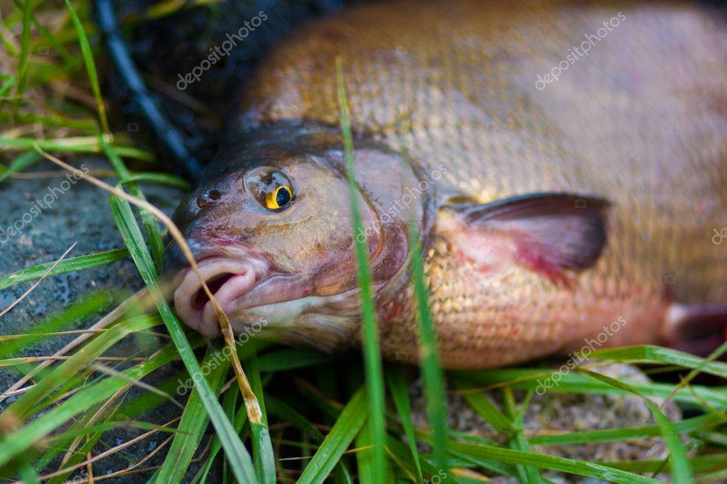 Fish names Carp