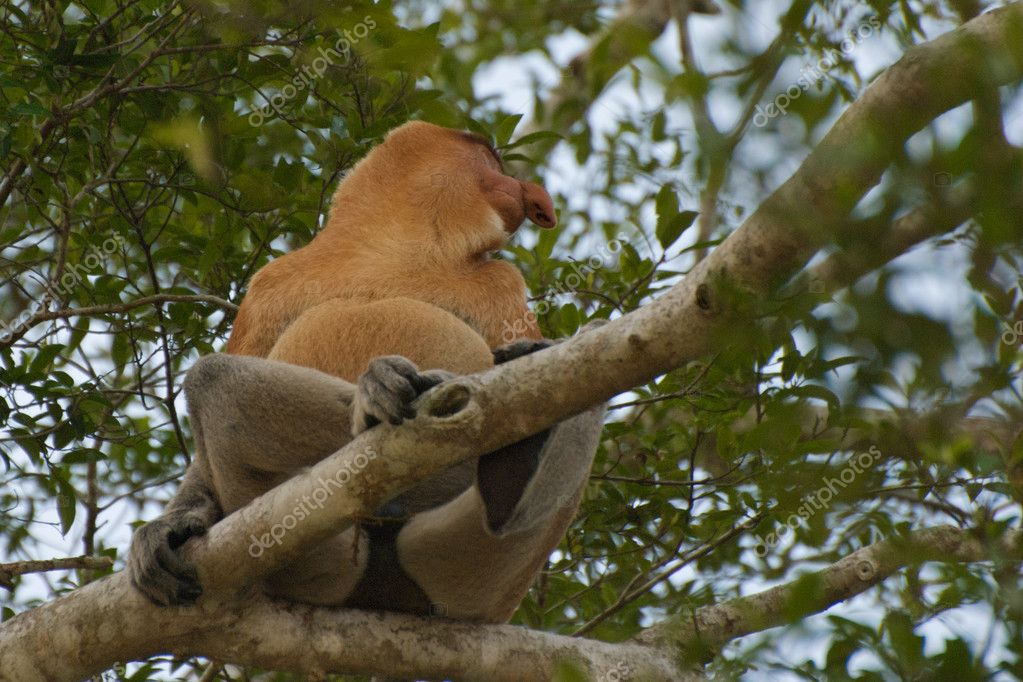 Proboscis Monkey in Brunei