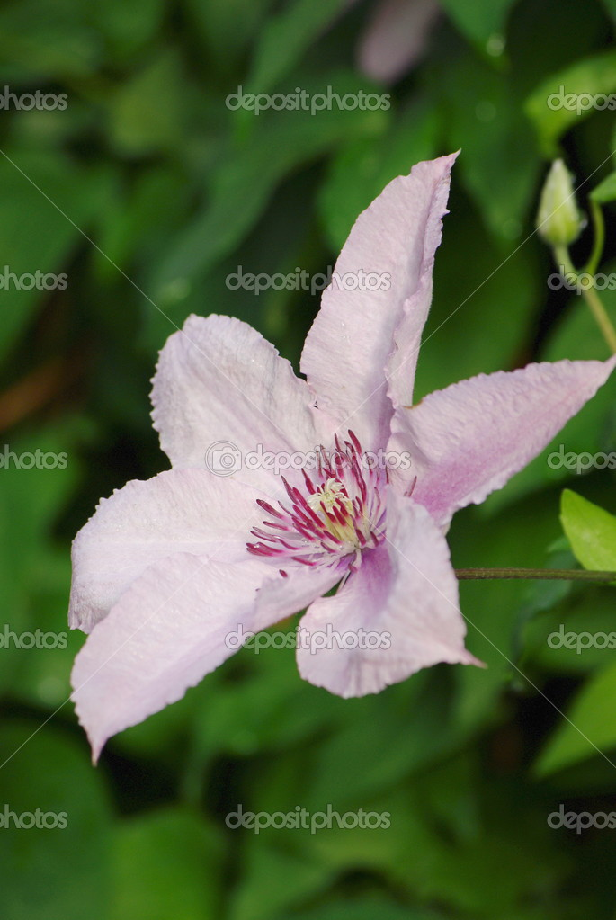 clematis blumen — Stockfoto © VitaminDP #2865006