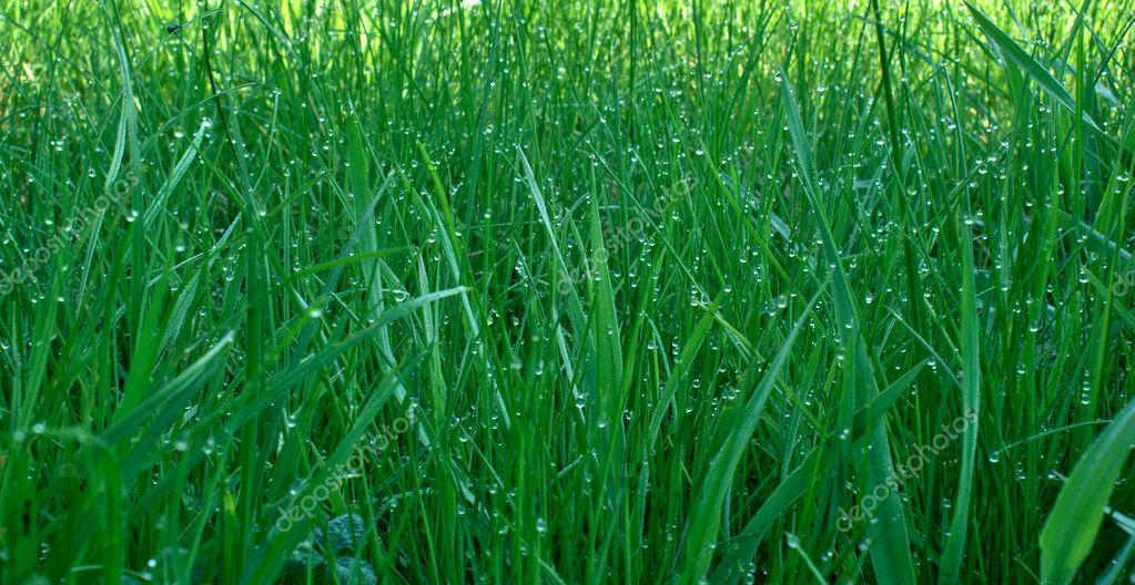 Dew upon green grass