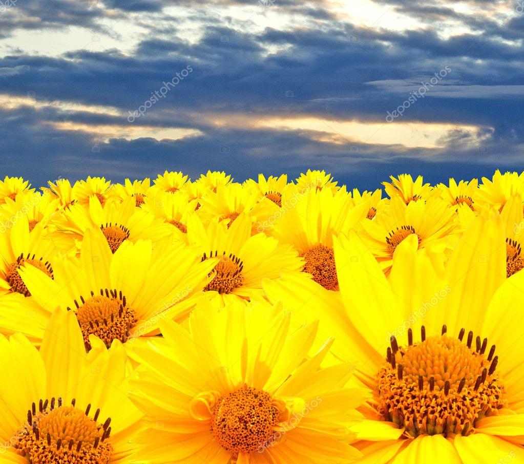 желтая ромашка полевая фото