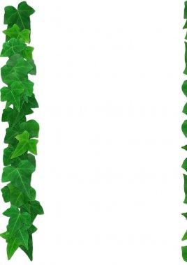 Green English Ivy leaves frame white