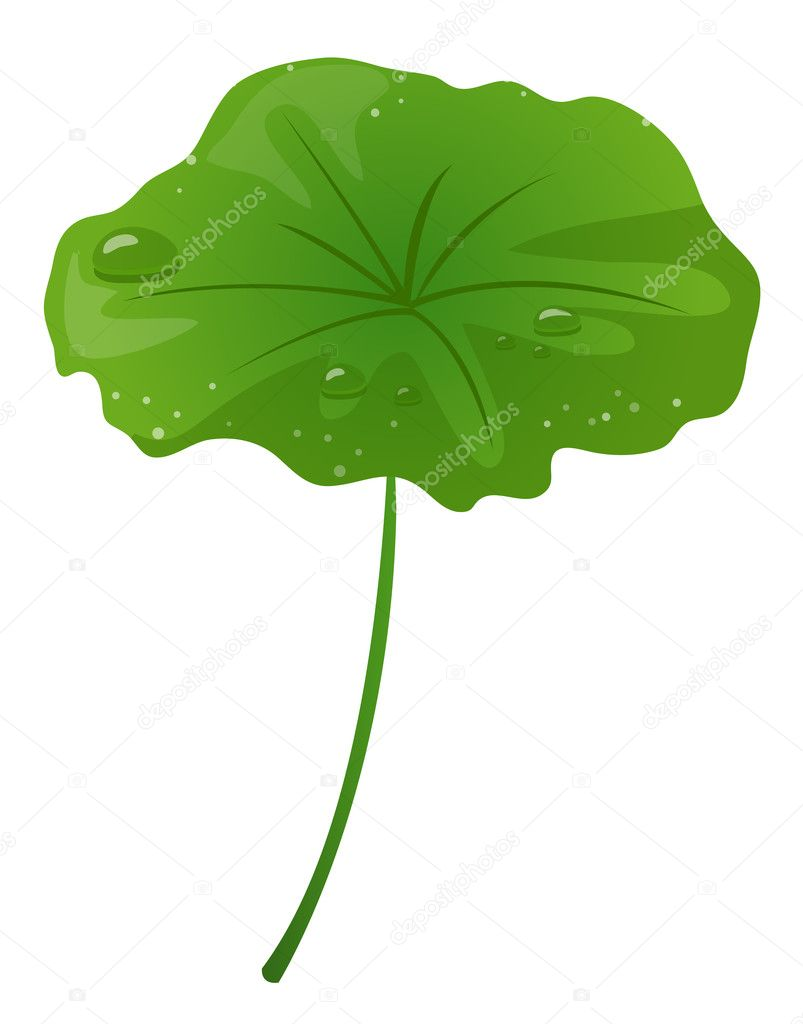 Lotus leaf and water drop