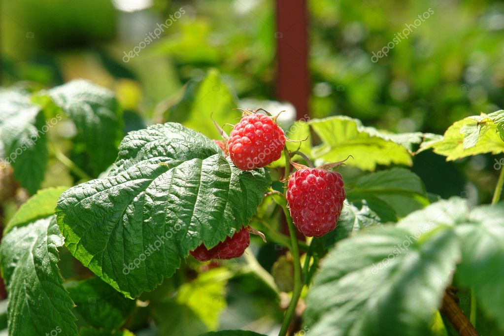 Raspberry berries on bush