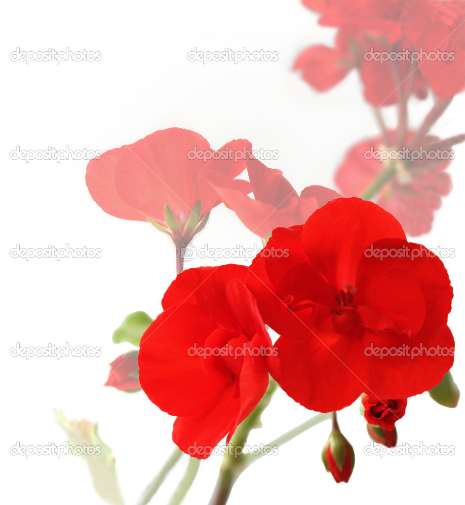 Flowers of red geraniums