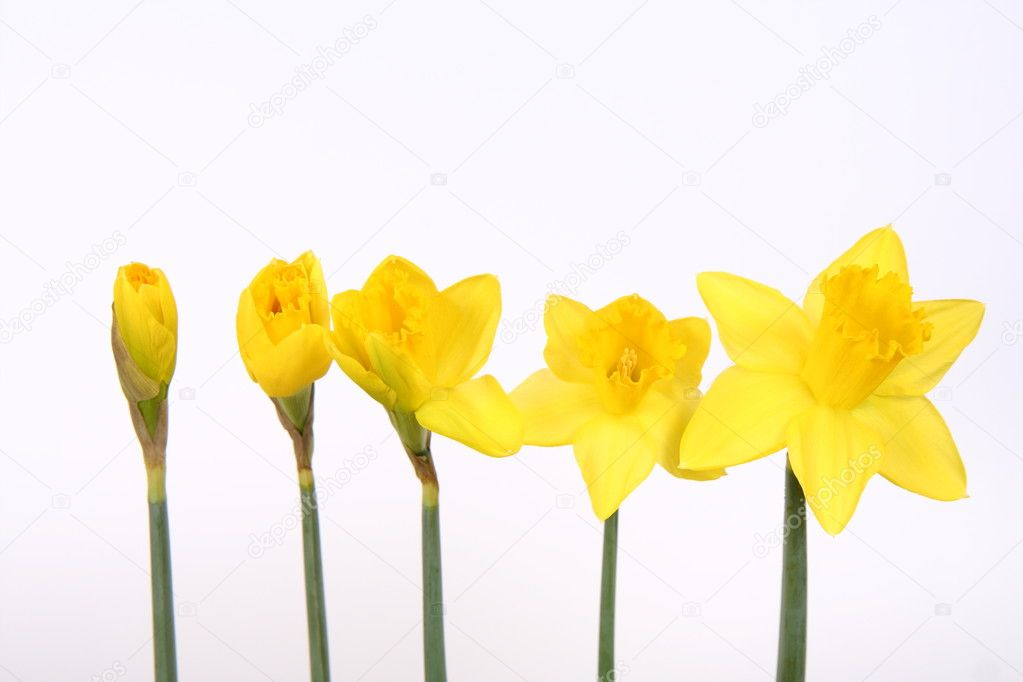 Daffodils from bud to flower