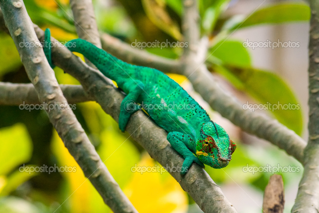 Panther cameleon