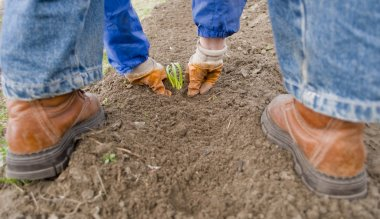 Planting of onion