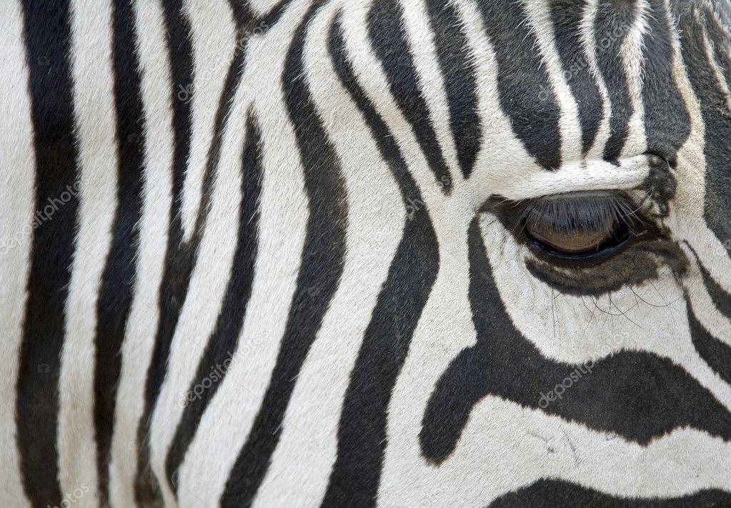Zebra - closeup