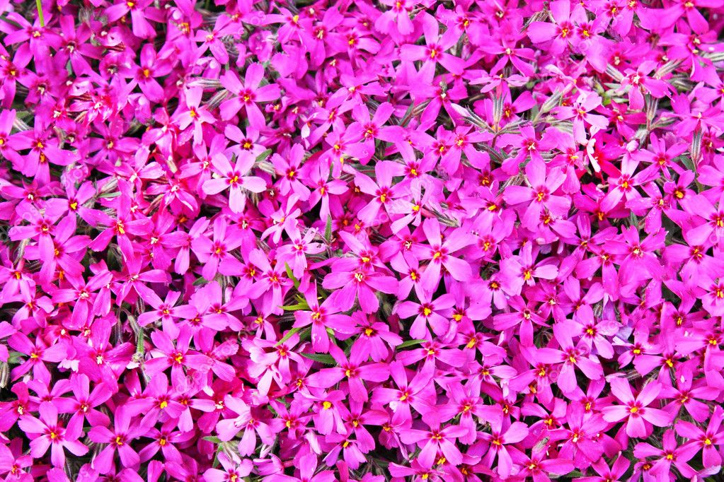 Real Pink Flowers Background Stock Photo