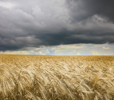 Golden wheat field under an dark cloudy sky. High Quality XXL!