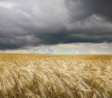 Golden wheat field under an dark cloudy sky. High Quality XXL!