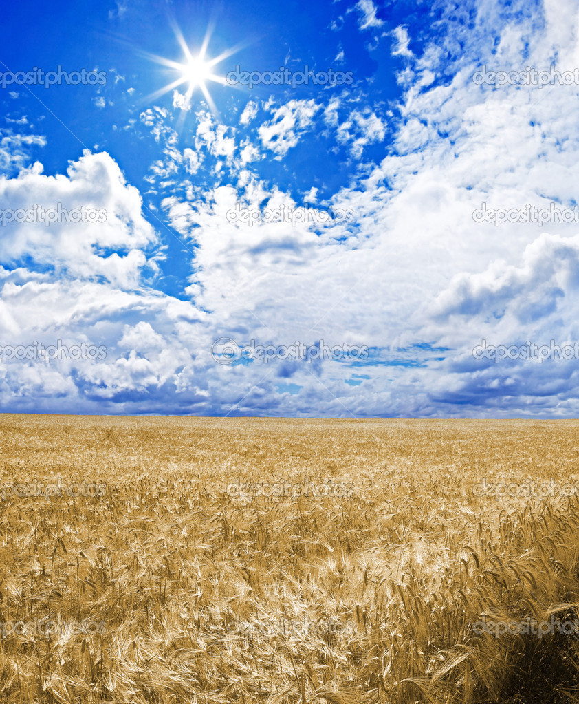 A golden wheat field under an blue sky with the sun in zenith