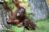 Verspielte junge Affen