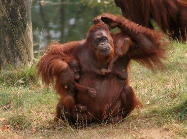 Mother orang utan with two babies