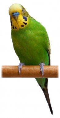 Australian Green Parrot isolated