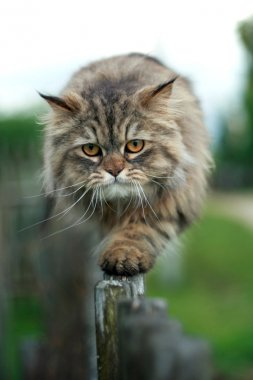 The cat walks on a fence