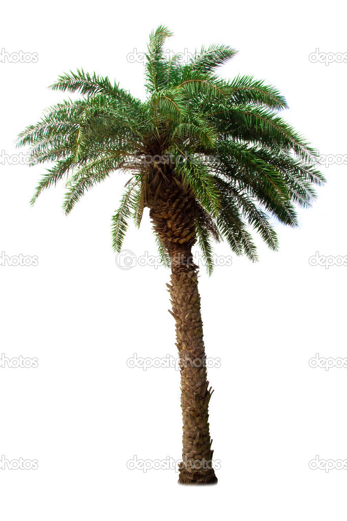 The Palm tree isolated on white background
