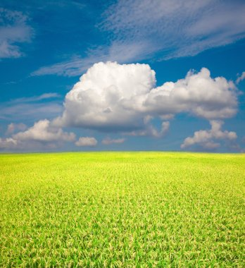 Yellow green rice field and blue sky