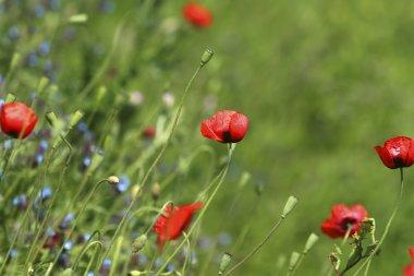 Poppy Field / Meadow Flowers