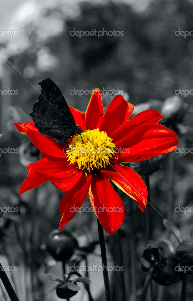 Black butterfly on red flower