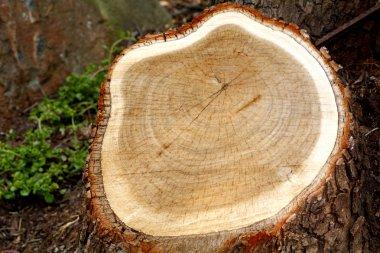 Chopped tree stump