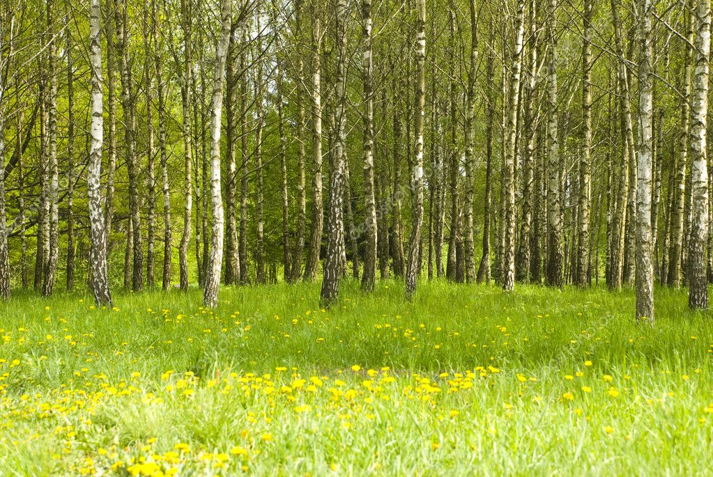 Birch grove and dandelions