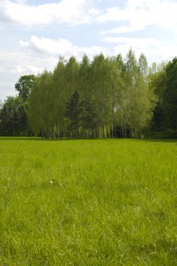 Meadow and birch grove