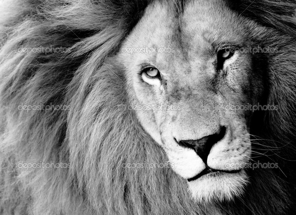 Close up of Male Lion, B&W stock vector