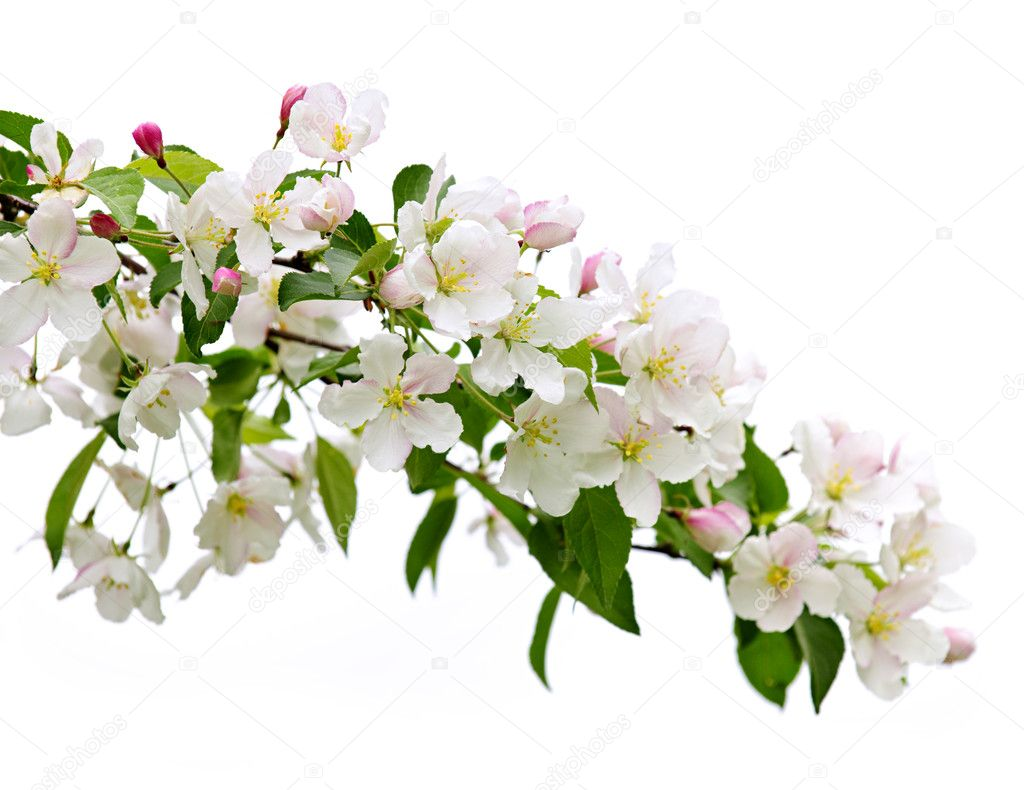 Image result for blooming apple branches