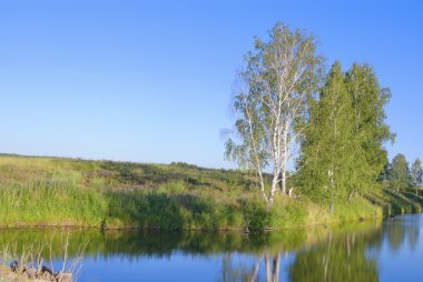 Birches on the bank of the river
