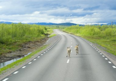 Deer running on the way of Lapland