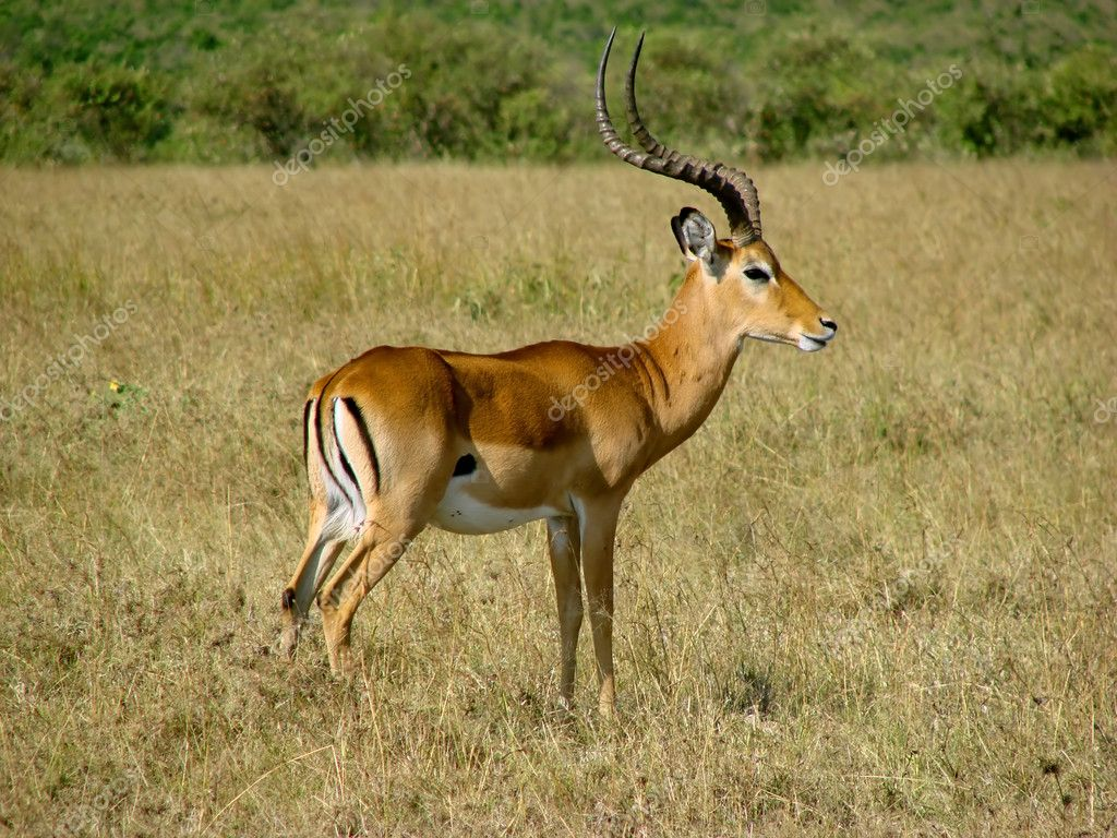impala antelope stock photo baloss74 3447294. Black Bedroom Furniture Sets. Home Design Ideas